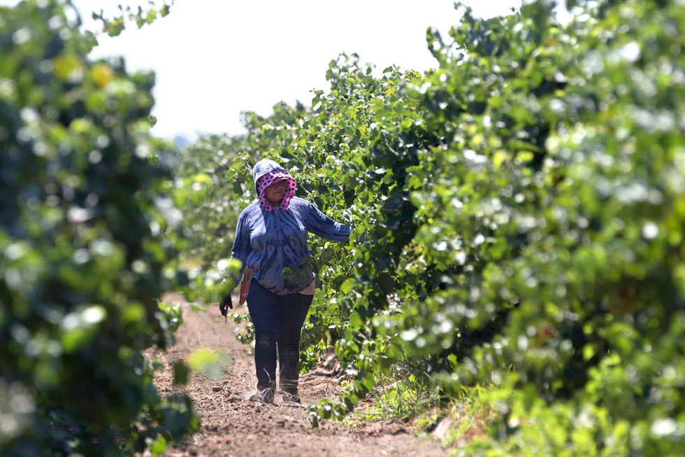 Organizations Like Faith In The Valley Are Seeking Ways Legal Residents And Citizens Like This Farmworker Can Respond If Massive Roundups And Deportations Begin. (Photo By Rich Pedroncelli, AP)